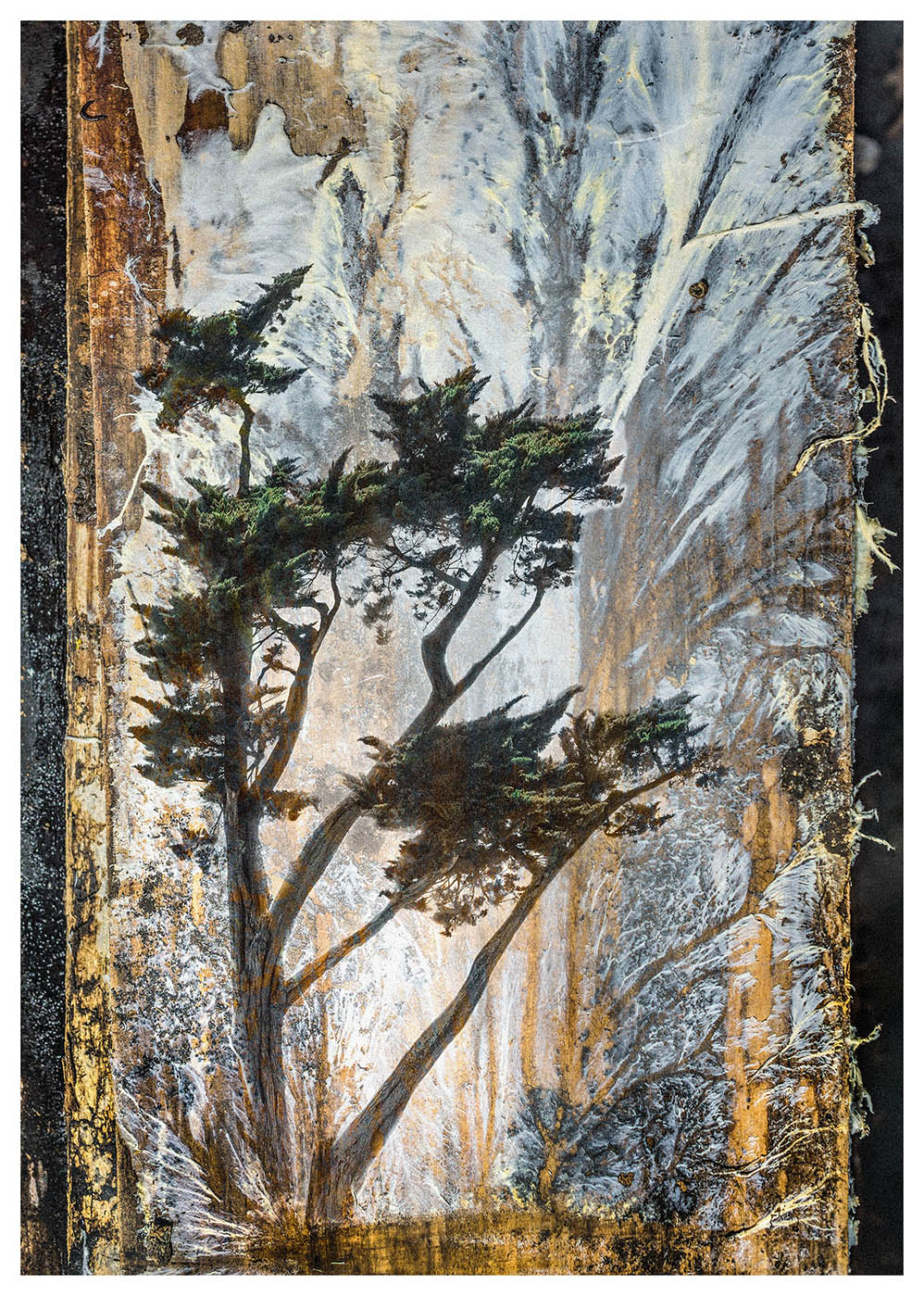 Photographed white wood fungus with an overlaid pine tree make this composite photograph form a new landscape prehaps a little Japanese in style